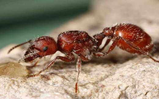an introduction to the profile of the fire ant The ant's body is made up of three part - the head, trunk and metasoma, or rear each ant has six legs that are attached to the trunk an ant has eyes that allow them to see extremely well because of the many lenses.